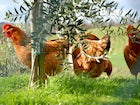 You'll find chickens and many other farm animals there