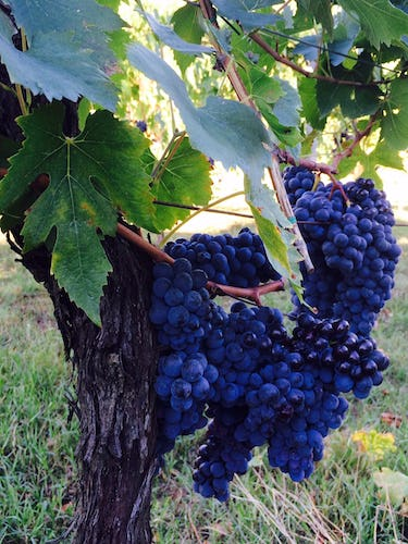 The estate produces its own sangiovese grapes for its Chianti DOCG wine