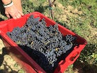 Agriturismo Piettorri - Grape Harvest
