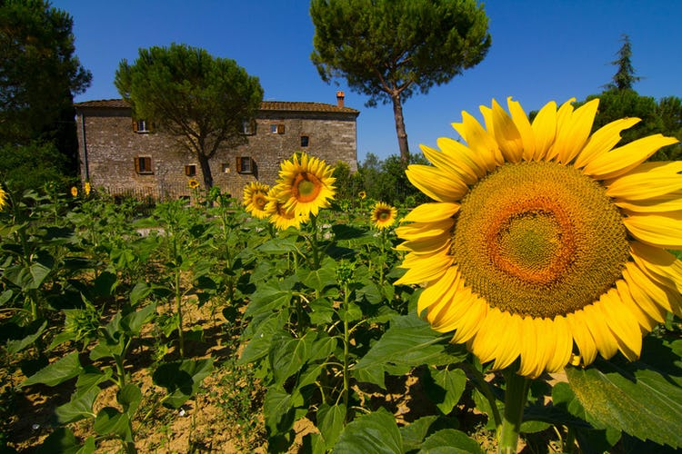 Agriturismo Il Molinello - Sunflowers in Tuscany