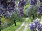 L'oliveto che circonda Casale Bozzo