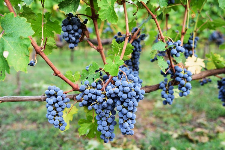 Fattoria Viticcio Rental Apartments & Vineyard: harvest time